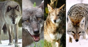 072716_lh_wolves_feat