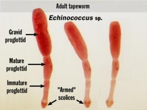 echinococcus-granulosus-01_1